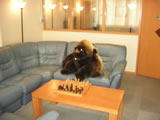 Gorilla on blue sofas