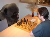 Gorilla playing chess